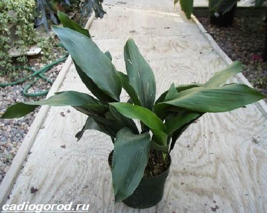Аспидистра-цветок-Описание-особенности-виды-и-уход-за-аспидастрой-6