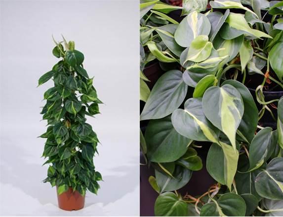 Филодендрон-цветок-Описание-особенности-виды-и-уход-за-филодендроном-12