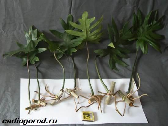 Филодендрон-цветок-Описание-особенности-виды-и-уход-за-филодендроном-9