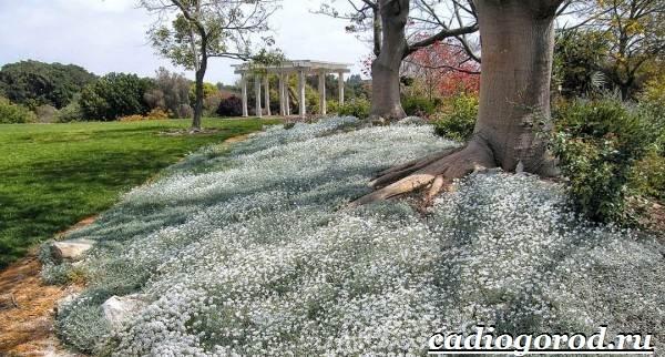 Камнеломка-цветок-Описание-особенности-виды-и-уход-за-камнеломкой-15