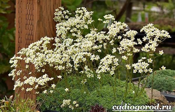 Камнеломка-цветок-Описание-особенности-виды-и-уход-за-камнеломкой-18