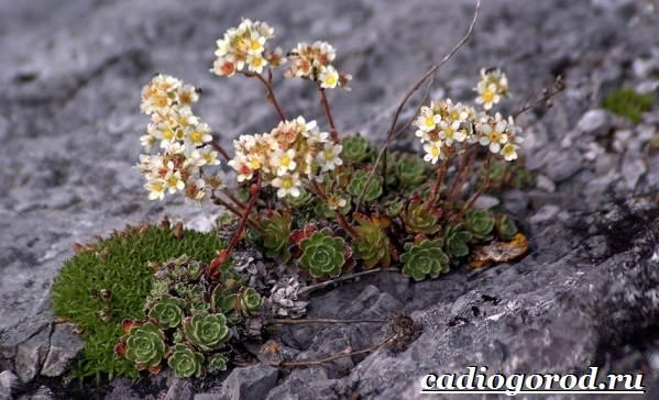 Камнеломка-цветок-Описание-особенности-виды-и-уход-за-камнеломкой-19