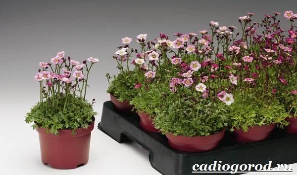 Камнеломка-цветок-Описание-особенности-виды-и-уход-за-камнеломкой-7