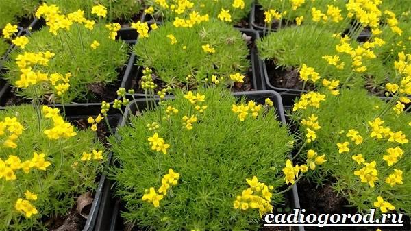 Камнеломка-цветок-Описание-особенности-виды-и-уход-за-камнеломкой-8