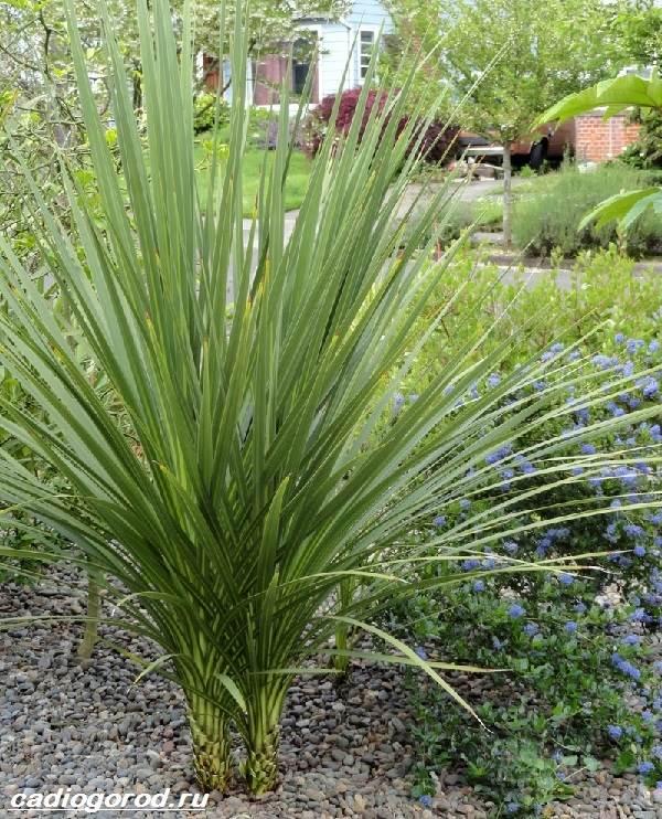 Кордилина-цветок-Описание-особенности-виды-и-уход-за-кордилиной-2