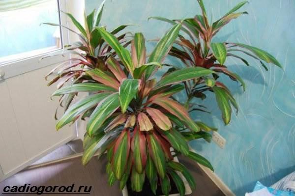 Кордилина-цветок-Описание-особенности-виды-и-уход-за-кордилиной-4