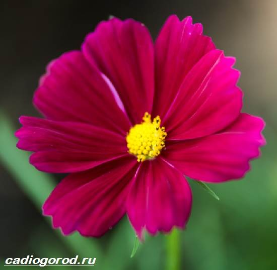 Космея цветы описание и 44