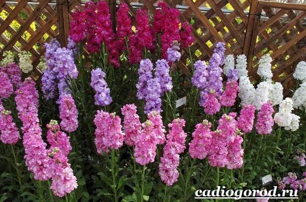 Левкой-цветок-Описание-особенности-виды-и-уход-за-левкоем-1