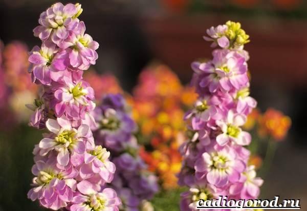 Левкой-цветок-Описание-особенности-виды-и-уход-за-левкоем-11