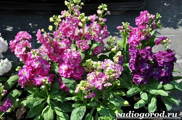 Левкой-цветок-Описание-особенности-виды-и-уход-за-левкоем-3