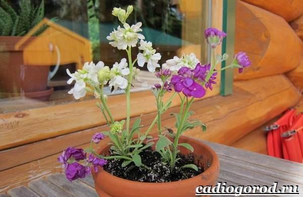 Левкой-цветок-Описание-особенности-виды-и-уход-за-левкоем-5
