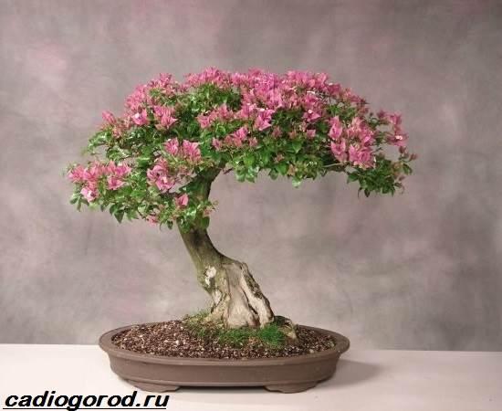 Фото и описание цветка мирт 81