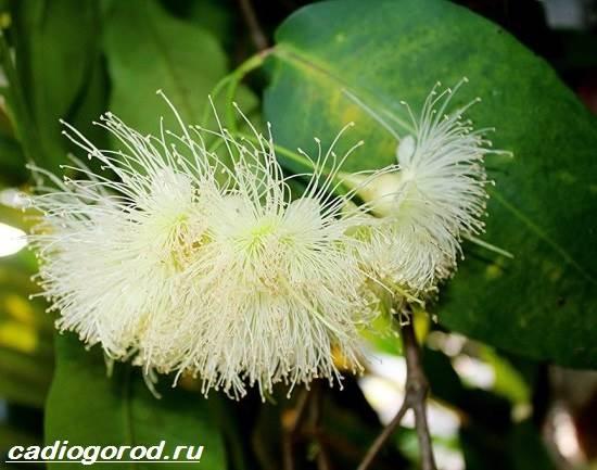 Мирт-цветок-Описание-особенности-виды-и-уход-за-миртом-5