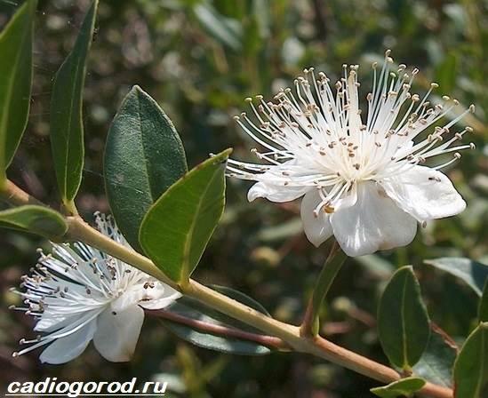 Мирт-цветок-Описание-особенности-виды-и-уход-за-миртом-8