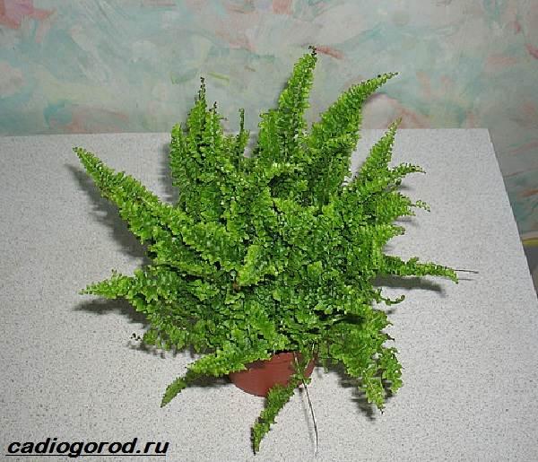 Нефролепис-папоротник-растение-Описание-особенности-виды-и-уход-за-нефролеписом-1