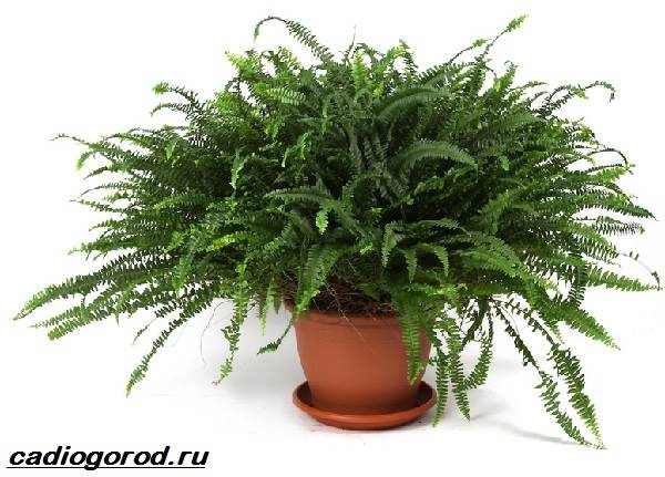 Нефролепис-папоротник-растение-Описание-особенности-виды-и-уход-за-нефролеписом-3