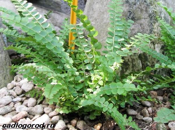 Нефролепис-папоротник-растение-Описание-особенности-виды-и-уход-за-нефролеписом-6