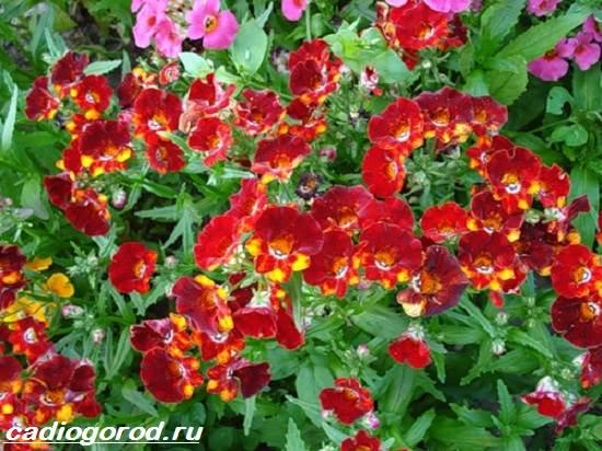 Немезия-цветок-Описание-особенности-виды-и-уход-за-немезией-2