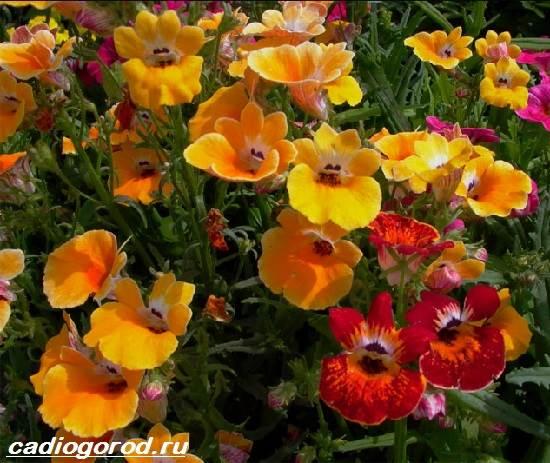 Немезия-цветок-Описание-особенности-виды-и-уход-за-немезией-4