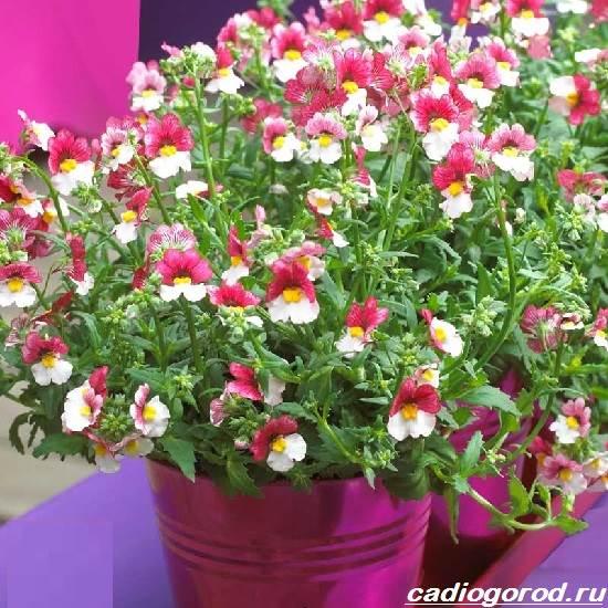 Немезия-цветок-Описание-особенности-виды-и-уход-за-немезией-7