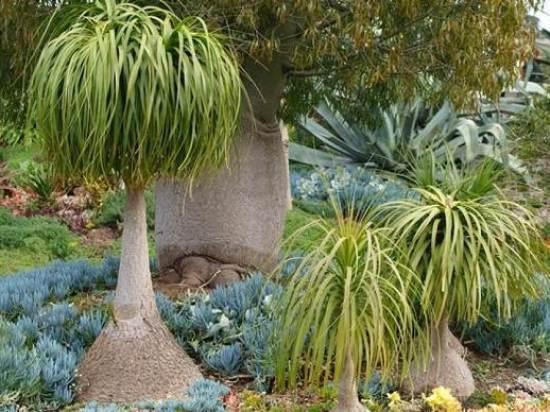 Нолина-дерево-Описание-особенности-виды-и-уход-за-нолиной-8