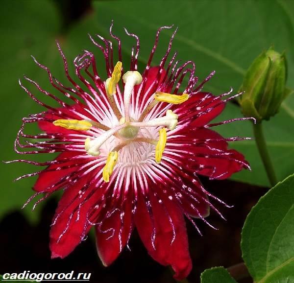 Пассифлора-цветок-Описание-особенности-виды-и-уход-за-пассифлорой-11