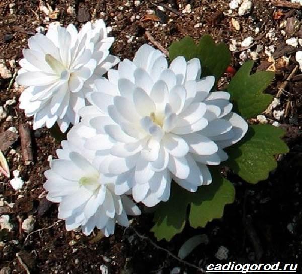 Сангвинария-цветок-Описание-особенности-виды-и-уход-за-сангвинарией-1