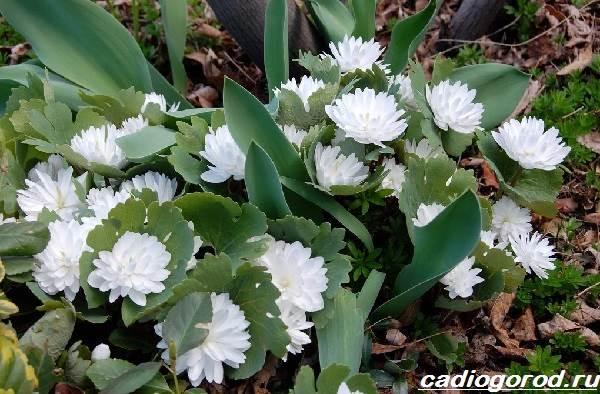 Сангвинария-цветок-Описание-особенности-виды-и-уход-за-сангвинарией-8