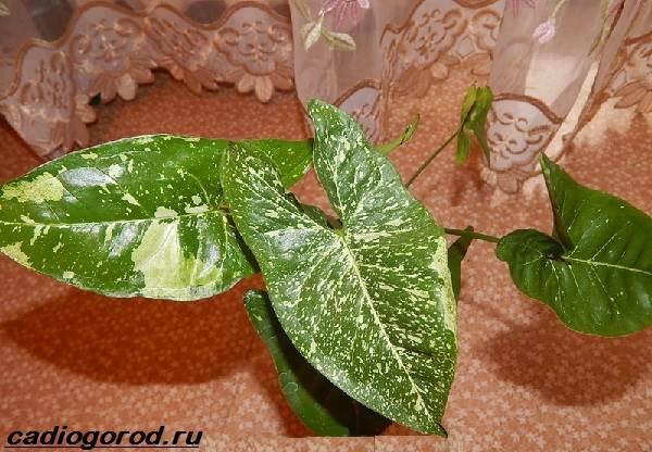 Сингониум-цветок-Описание-особенности-виды-и-уход-за-сингониумом-6