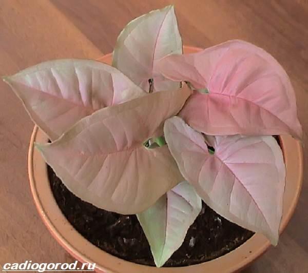 Сингониум-цветок-Описание-особенности-виды-и-уход-за-сингониумом-7