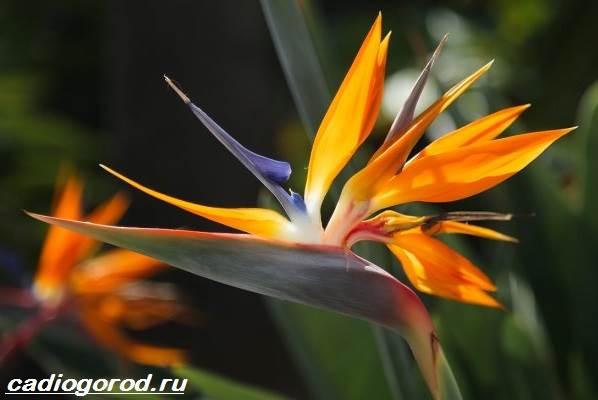 Стрелиция-цветок-Описание-особенности-виды-и-уход-за-стрелицией-1