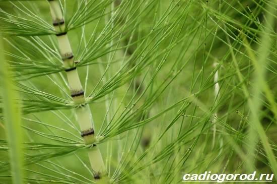 Хвощ-полевой-трава-Описание-особенности-виды-и-свойства-хвоща-полевого-9