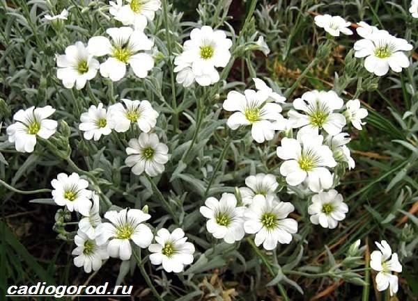 Ясколка-войлочная-цветок-Описание-особенности-виды-и-уход-за-ясколкой-войлочной-1