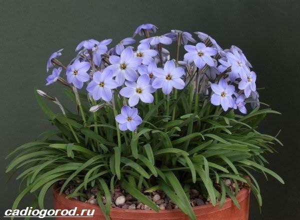 Зефирантес-цветок-Описание-особенности-виды-и-уход-за-зефирантесом-9