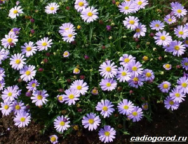 Брахикома-цветы-Описание-особенности-виды-и-уход-за-брахикомой-3