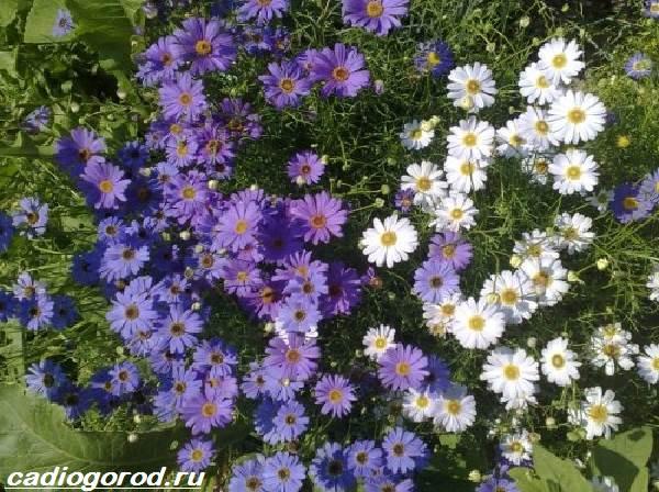 Брахикома-цветы-Описание-особенности-виды-и-уход-за-брахикомой-7