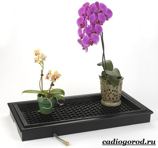 Фаленопсис-цветок-Описание-особенности-виды-и-уход-за-фаленопсисом-15