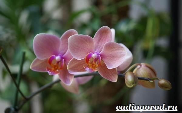 Фаленопсис-цветок-Описание-особенности-виды-и-уход-за-фаленопсисом