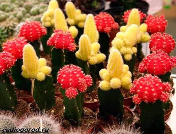 Гимнокалициум-цветок-Описание-особенности-виды-и-уход-за-гимнокалициумом-4