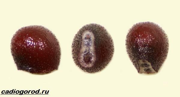 Гимнокалициум-цветок-Описание-особенности-виды-и-уход-за-гимнокалициумом-5