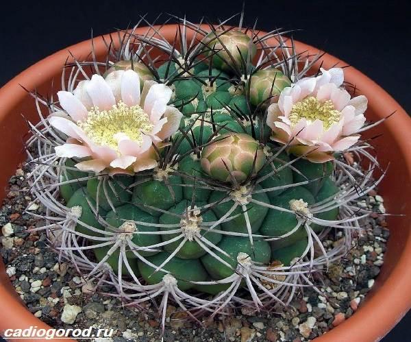 Гимнокалициум-цветок-Описание-особенности-виды-и-уход-за-гимнокалициумом-7