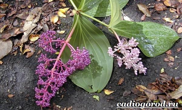 Мединилла-цветок-Описание-особенности-виды-и-уход-за-Мединиллой-17