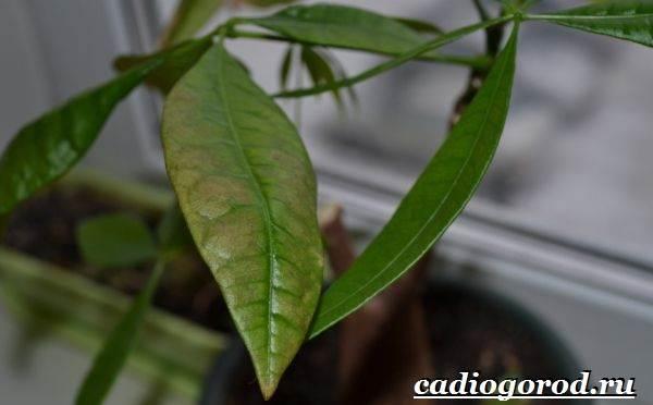 Пахира-цветок-Описание-особенности-виды-и-уход-за-пахирой-20