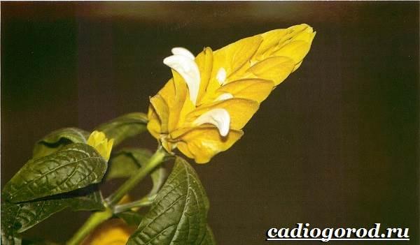 Пахистахис-растение-Описание-особенности-виды-и-уход-за-пахистахисом-12