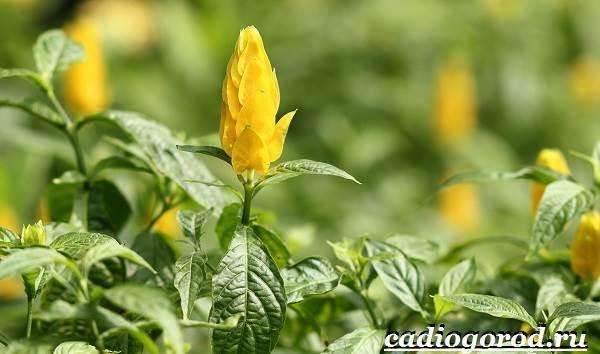 Пахистахис-растение-Описание-особенности-виды-и-уход-за-пахистахисом-15