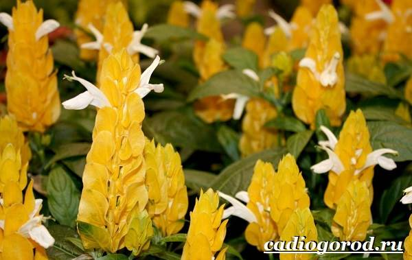 Пахистахис-растение-Описание-особенности-виды-и-уход-за-пахистахисом-16