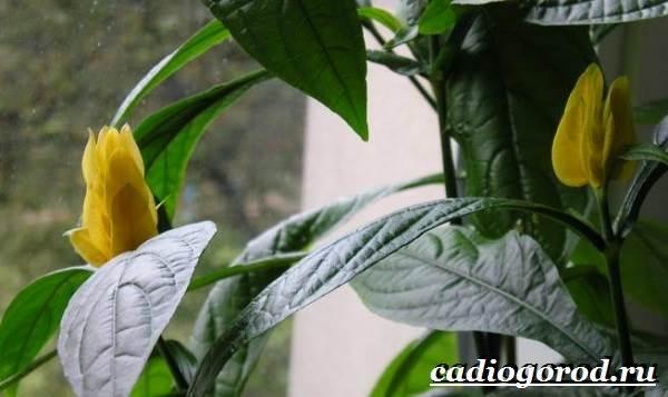 Пахистахис-растение-Описание-особенности-виды-и-уход-за-пахистахисом-19