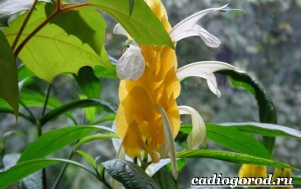 Пахистахис-растение-Описание-особенности-виды-и-уход-за-пахистахисом-20