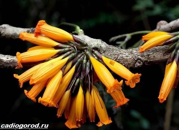 Радермахера-цветок-Описание-особенности-виды-и-уход-за-радермахерой-10