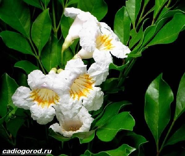 Радермахера-цветок-Описание-особенности-виды-и-уход-за-радермахерой-2